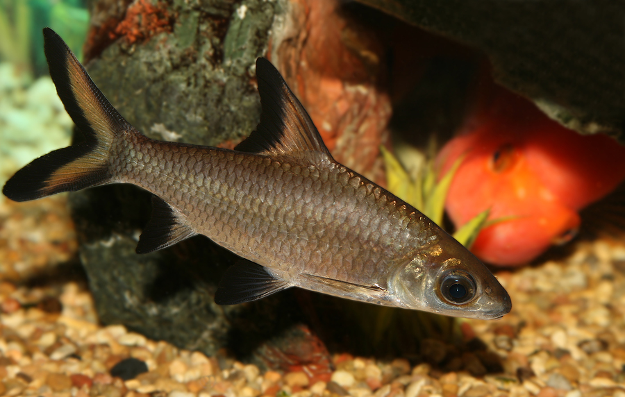 Freshwater aquarium fish shark shark is the bala or Types of fish aquarium